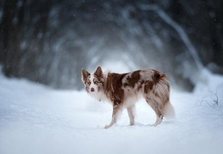 border collie with dark winter forest behind