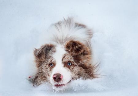 border collie closeup running in snow portrait