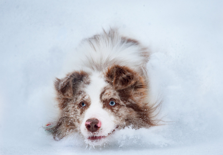 border collie closeup running in snow portrait