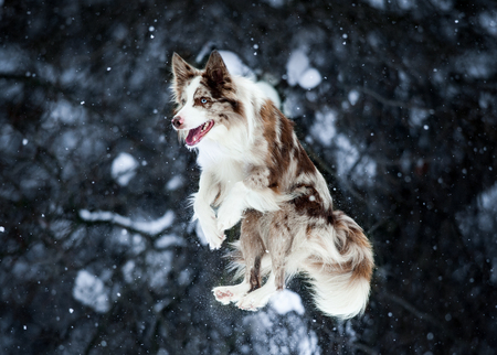 border collie jump on winter background Imagens