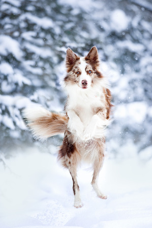 border collie jump on winter background Banque d'images