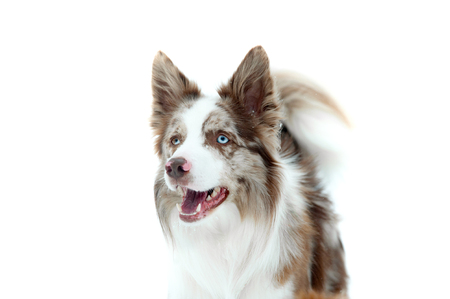 marble border collie portrait isolated on white Imagens