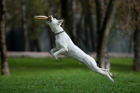 White shepherd catching the disk