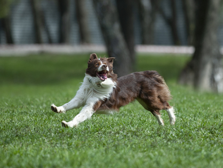 border collie runs free in spring field Imagens