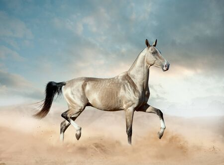 golden akhal-teke horse with blue eye running in desert