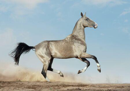 golden dun akhal-teke with blue eyes runs in desert 写真素材