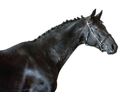 black horse portrait isolated on white background