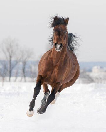 bay arabian horse runs free in winter 写真素材