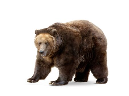 brown bear isoalted on white 写真素材
