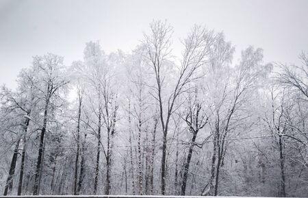 frosty trees 写真素材