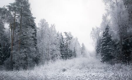 winter frosty forest