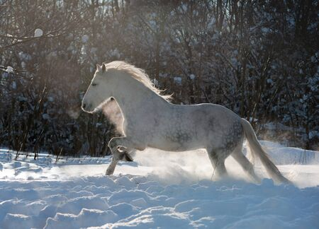 grey dappled horse runs free in the snow with backlight