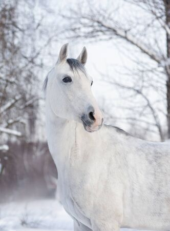 white arabian horse winter portrait