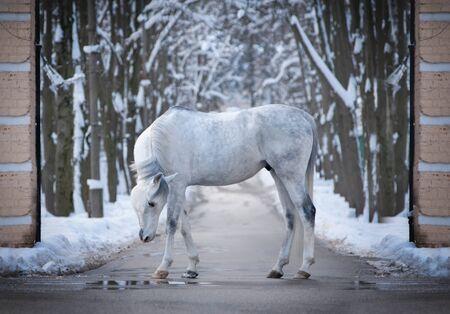 graceful arabian horse posing in winter outdoors