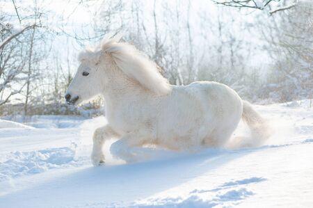 snowy white cute fluffy pony runs free in snowy winter