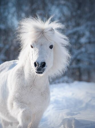 snowy white cute fluffy pony portrait closeup with winter background behind 免版税图像