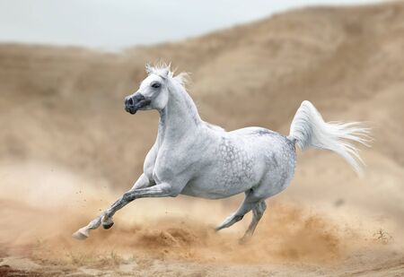 arabian horse running in desert Stockfoto
