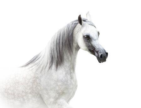 arabian horse in high key isolated on white 写真素材
