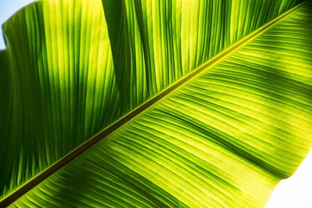 Tropical sunny green leaves. Close up. Nature background.