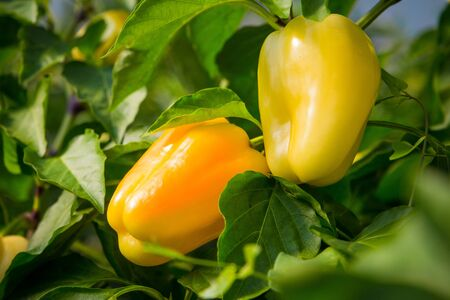 Ripe yellow and orange peppers in a greenhouse. Many fresh leaves. Harvest of vegetables. Sunny day. Close up.