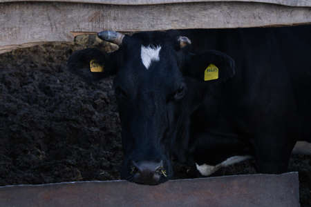 Black cow eating grass in the cowshed, close-up. Stockfoto
