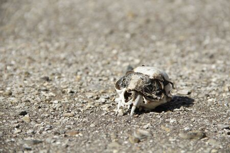 cat skull