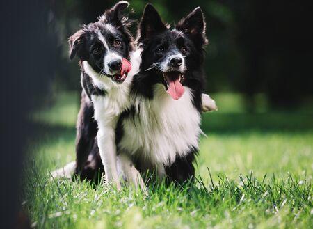 Dos hermosos perros de color blanco y negro juegan en el campo verde. Se sientan y se abrazan. Uno de ellos es un cachorro. Raza border collie. Foto de archivo