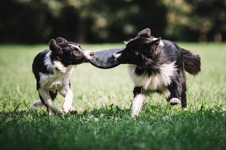 Two beautiful dogs of black and white color play on the green field. They run around together and catch a disk. Border collie breed.