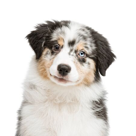 funny and cute portrait puppy Aussies or Australian shepherd, isolated background. Stockfoto - 142799463