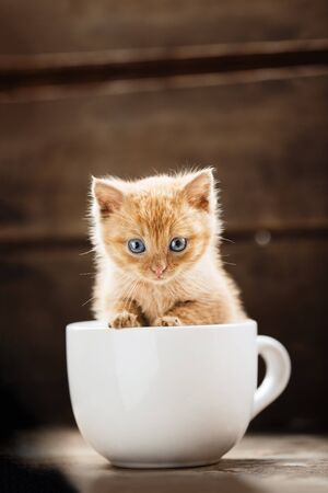 Little cute red-haired blue-eyed kitten sits in a white mug.