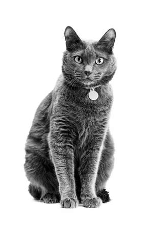 Portrait of a beautiful gray cat in a collar. Background is isolated. The photo is black and white.