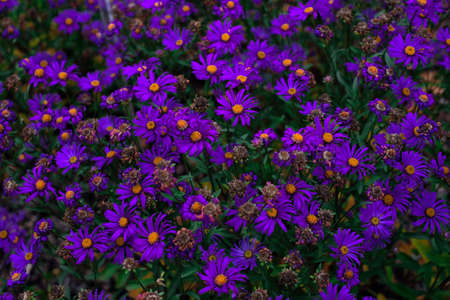 Purple flowers of italian asters also known as aster amellus, violet blossom growing in garden. Soft focus. Stock Photo