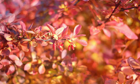 Red cornus mas berry on tree branch