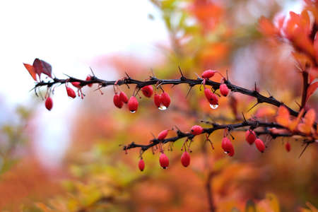 Red cornus mas berry on tree branch