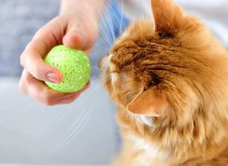 Ginger cat looks on ball toy in the humans hand. Communication and friendship between human and animal. Animal training. Selective focus