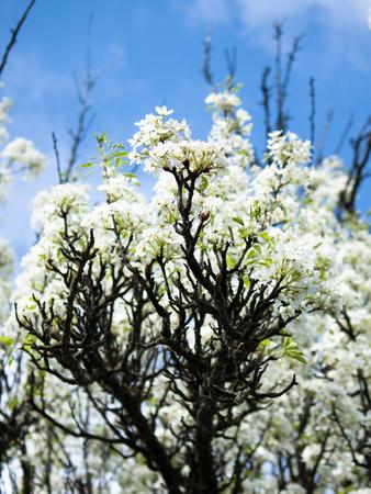 apple blossom: apple tree branch
