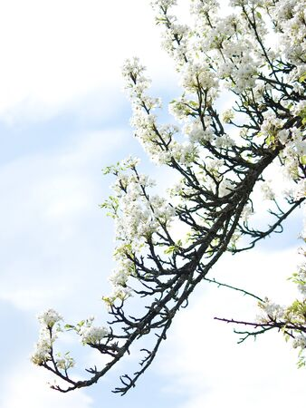 albero di mele: teneri fiori di prugna fiore di ramo in primavera sullo sfondo del cielo azzurro e nuvole. Archivio Fotografico