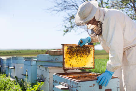 Beekeeper on apiary. Beekeeper is working with bees and beehives on the apiary. 版權商用圖片