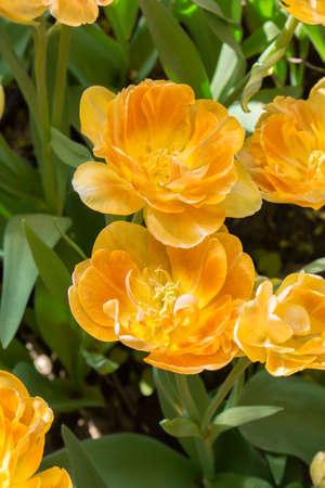 Yellow terry tulips orange warm color. Terry tulip heads close-up vertical photo Varietal garden flowers petals and leaves 版權商用圖片