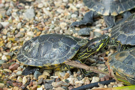 Red-eared slider is the scientific name for Trachemys scripta elegans in the wild. Turtle among congeners close up. Red-eared turtles in natural habitat in the group of congeners