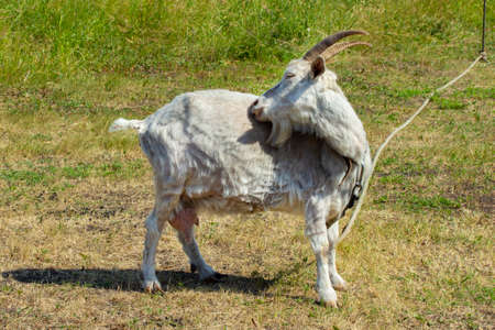 A white goat is scratching its side, biting insects in its fur. Countryside dairy animal goat grazing in a meadow, rubbing its nose side. Goat entirely with horns, tied with a rope to a peg Stok Fotoğraf
