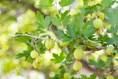 Garden gooseberry, ripe berries on a branch with leaves. Bush gooseberry currant with ripe fruits. Garden farmers fruit shrubs. Green Striped Ripe Gooseberry Berries
