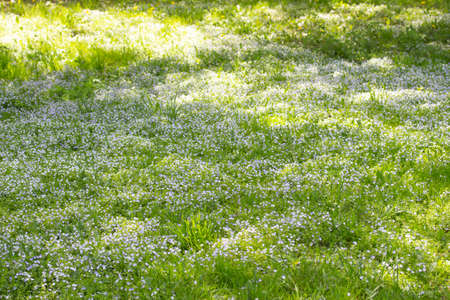 Field meadow of blooming Myosotis forget-me-nots, background wallpaper. Green meadow with blooming small blue flowers Forget-me-not, beautiful flower meadow in the wild
