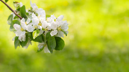 Blossom apple tree. A bunch of white spring flowers with leaves on a branch of a blooming garden. Orchard in spring, background wallpaper backdrop. Natural branch of apple tree in bloom white petal
