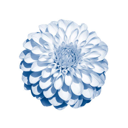 White dahlia flower chrysanthemum toned in classic blue color, isolate on white. An isolated dahlia flower, a large inflorescence with many petals
