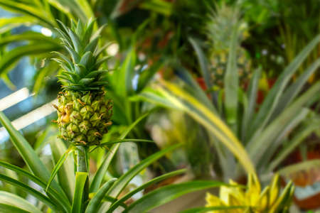 Little pineapple fruit in a greenhouse. Ripe bright tasty Bromelia ananas pineapple among tropical foliage. Natural exotic fruit Zdjęcie Seryjne