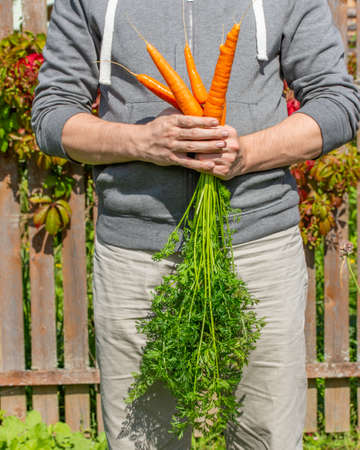 Harvest carrots in the hands of a farmer. A few tubers of ripe bright orange carrots with tops. Harvesting Farm Organic Vegetables