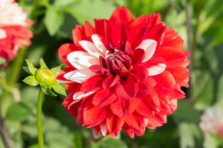 Red dahlia flower interspersed with white petals. Large red hat flower dahlia chrysanthemum terry with white feathers. Garden flowers varietal close-up 写真素材