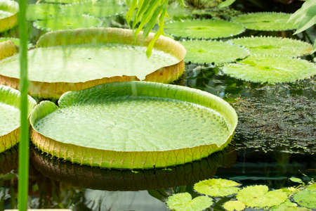 Victoria amazonica is the largest waterlily in the world. Leaves of water lily Victoria amazonica floating in water close-up