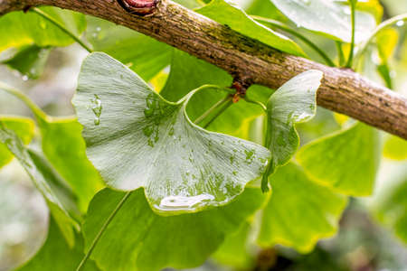 Ginko tree leaf with raindrops, close-up horizontal background. Beautiful green leaf of Ginko biloba for brewing tea, oriental medicine